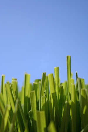 Grass with the blue sky for a background