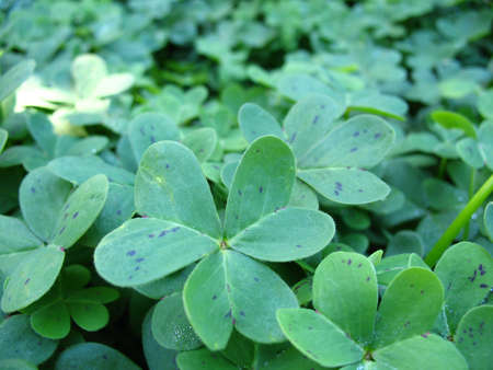 Clover in Patch Stock Photo - 2845758