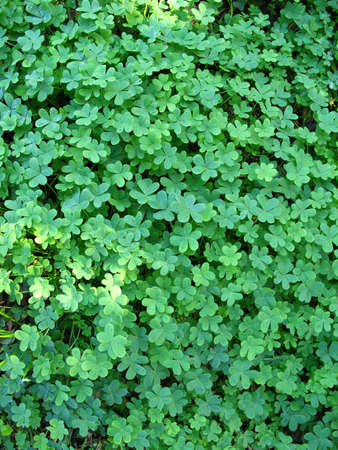 clover patch Stock Photo - 2845764