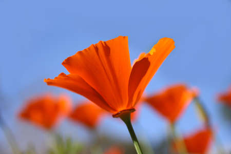 California Poppy Stock Photo