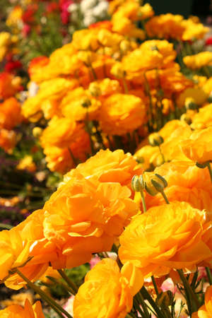 Yellow Rananculus Stock Photo