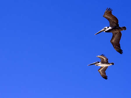 Two pelicans flying across blue sky