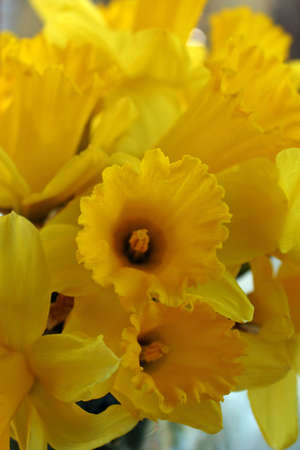 Bouquet of yellow daffodils, perfect for Easter and spring