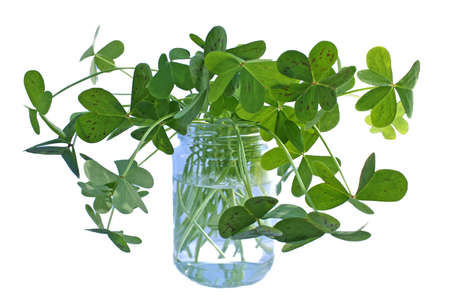 Glass jar filled with wild green clover, perfect for St. Patrick's Day Stock Photo