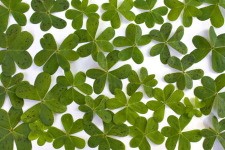 Lots of clovers isolated on a white background, perfect for St. Patrick's Day