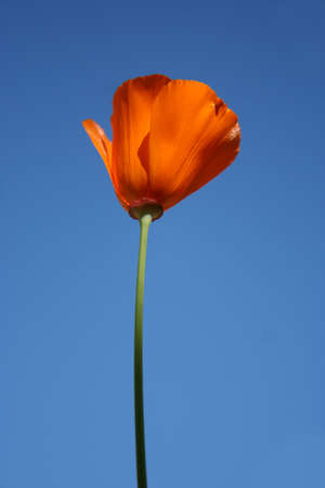 One California Poppy, Californias state flower, against a blue sky