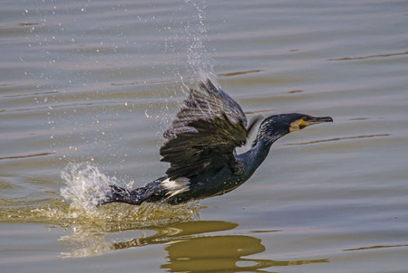 taking off: Cormoran taking off from river Danube on a sunny day