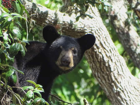 Black bear cub in a tree looking at camera. Stock Photo