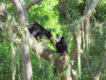 wildlife preserve: Two black bear cubs playing high up on a tree limb.