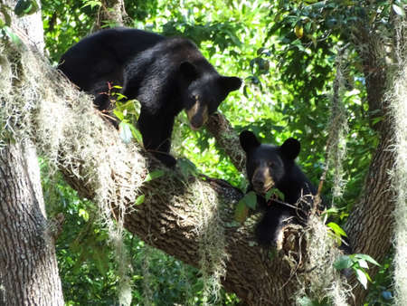 wildlife preserve: Two black bear cubs playing in a tree.