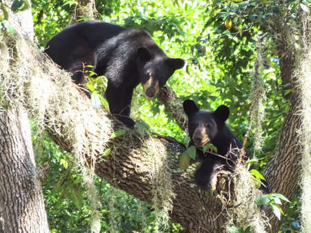 Black bear cubs playing in a tree.