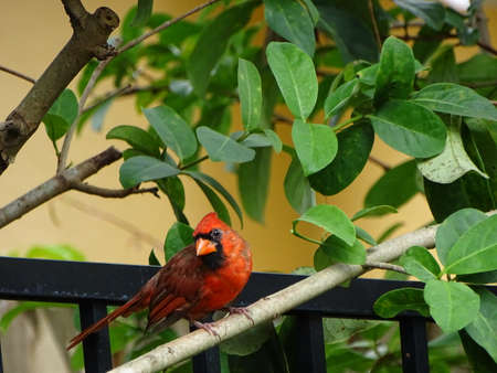 Red male cardinal perching on a tree branch.