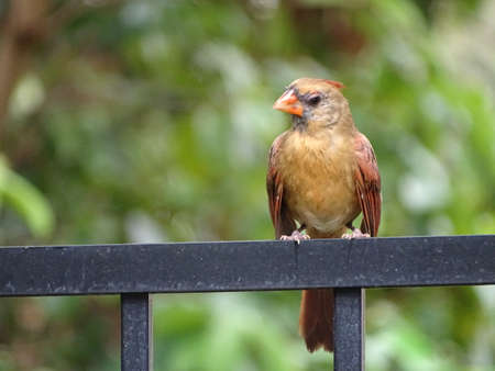 Female cardinal bird perched on a fence.