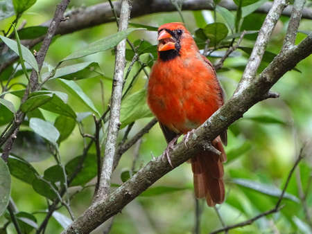 Red male cardinal bird perching on a tree branch. Stock Photo