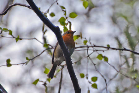alexandra: A robin, sits on the branch of shrubs at Alexandra Park in London  Stock Photo