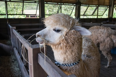 alpaca in the zoo photo