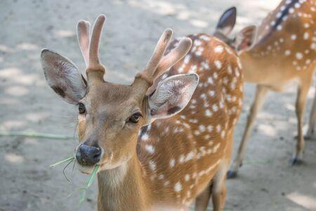 missouri wildlife: Deer in the zoo Stock Photo