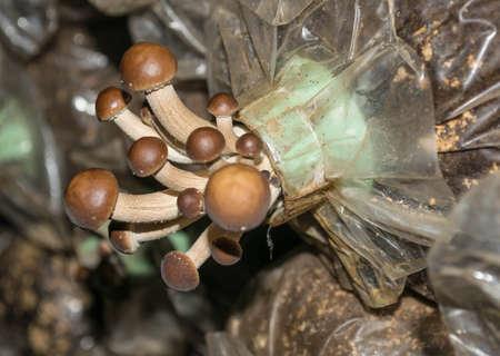 spawn: Yanagimatsutake,mushroom on spawn bags growing in a farm