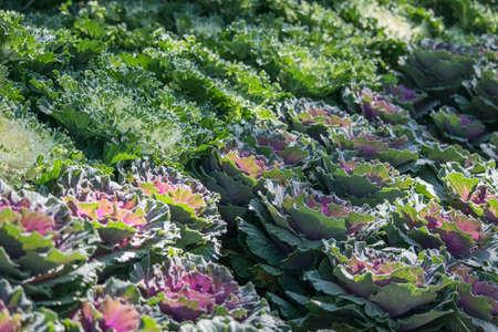 cruciferous: Brassica Hybrid flower close up