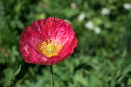 rose coloured: Beautiful Papaver somniferum in the garden