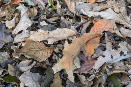 sear and yellow leaf: Brown dry the leaves background Stock Photo