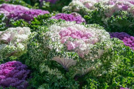 brassica: Brassica Hybrid flower close up