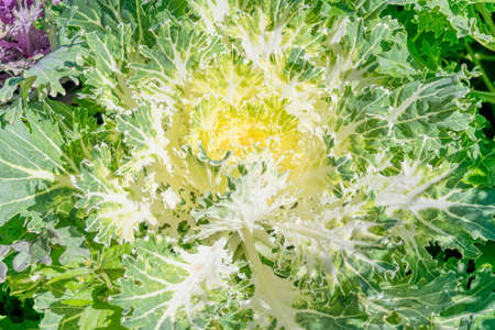 hybrid: Brassica Hybrid flower close up
