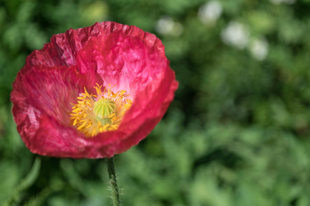 papaver: Beautiful Papaver somniferum in the garden