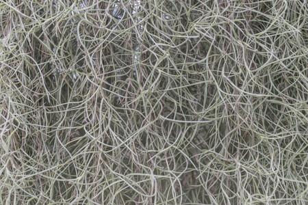 Spanish moss in nature