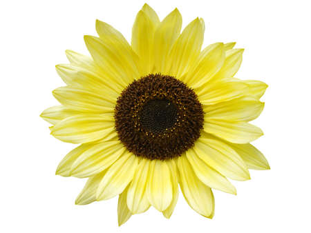 sunflower Stock Photo - 16801108