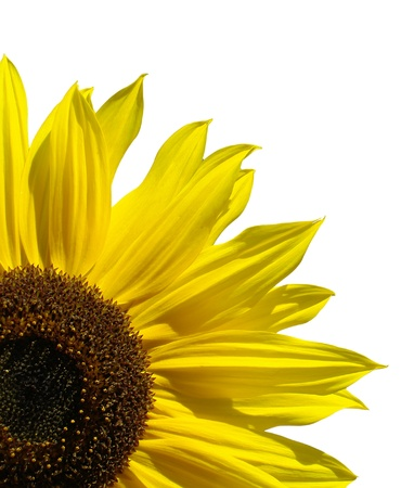 sunflower Stock Photo - 16801113