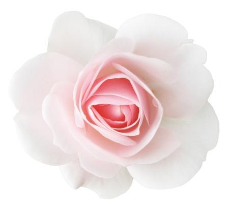 white rose Stok Fotoğraf - 16801109