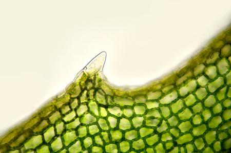 meristem under microscope Reklamní fotografie