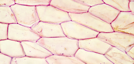 Microscopic preparation, tissue plant, stomata