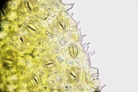 Microscopisch preparaat, weefselplant, huidmondjes Stockfoto