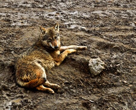 Wild wolf laying on muddy ground, leering suspiciously at camera 写真素材