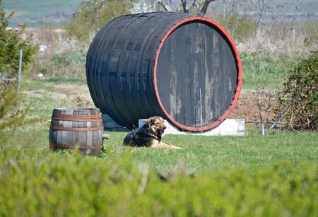 A happy dog guarding a large decorative wooden barrel