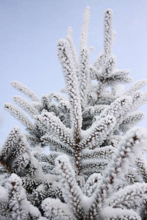 Winter sky background. A coniferous tree in hoarfrost and snow