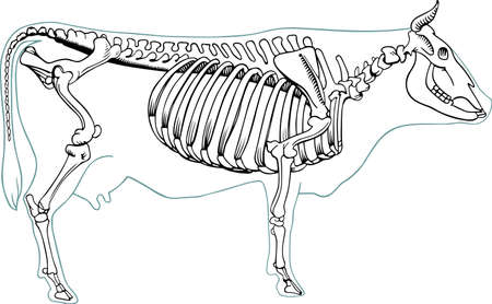 Skelton of cow