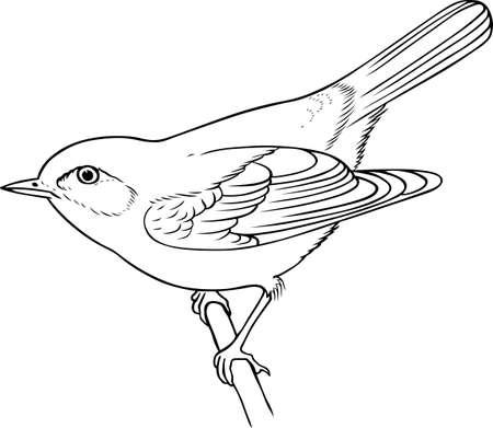 uccelli su ramo: Uccello sul ramo su sfondo bianco