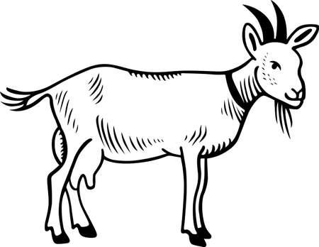 Chèvre domestique sur fond blanc