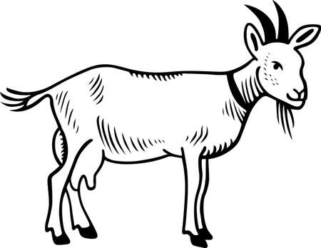 domestic goat: Goat domestic on white background Illustration
