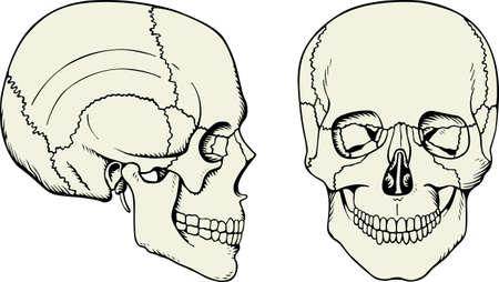 Human skull on white  Illustration