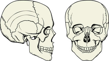 temporal: Human skull on white  Illustration