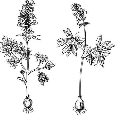 corydalis: Corydalis plant  on white