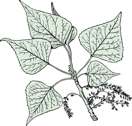 poplar: Branch of poplar on white