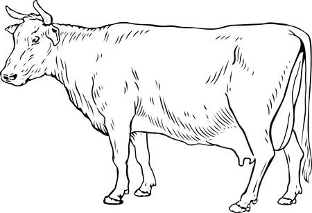 cow: Cow on white  Illustration