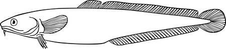 ichthyology: Long fish on white