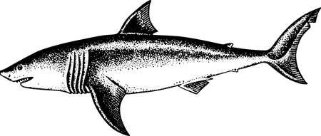 Shark on white Vector