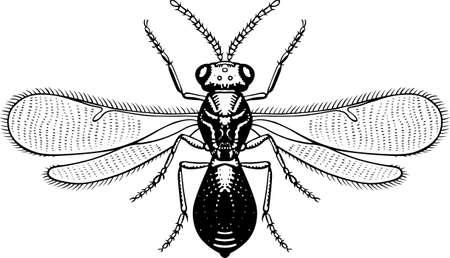 hum: Big eyed fly on white